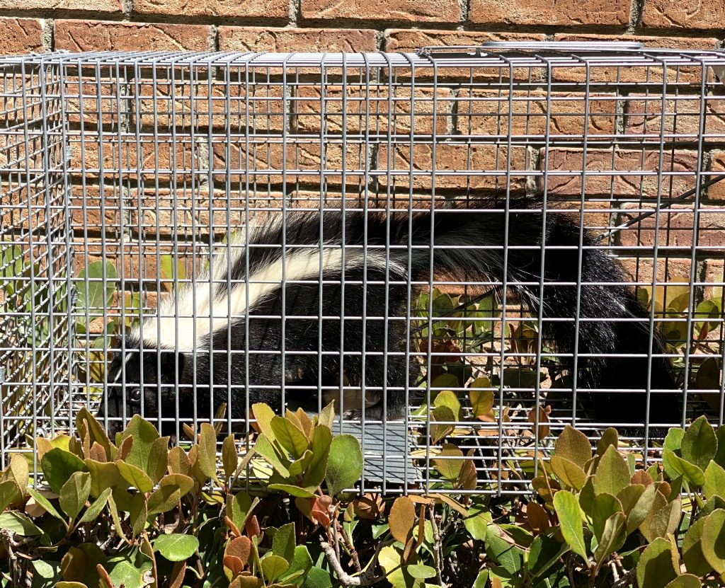 skunk_trapping